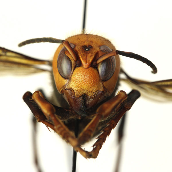 """This Dec. 30, 2019 photo provided by the Washington State Department of Agriculture shows a dead Asian giant hornet in a lab in Olympia, Wash. It is the world's largest hornet, a 2-inch long killer with an appetite for honey bees. Dubbed the """"Murder Hornet"""" by some, the insect has a sting that could be fatal to some humans. AP photo by Quinlyn Baine/Washington State Department"""